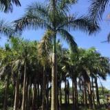 10米大王椰子树价格 批发 大王椰子苗多少钱一棵