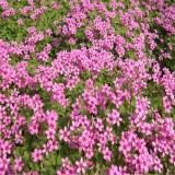 红花醡浆草价格 江苏红花醡浆草多少钱一棵
