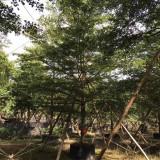 细叶榄仁种植地 15公分20公分小叶榄仁树价格