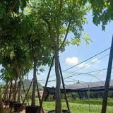 漳州哪里有腊肠树 腊肠树地苗20公分多少钱