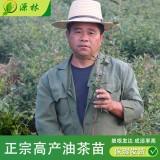 江西油茶苗价格 油茶苗种植销售