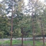 水杉树批发价格  求购水杉树苗  水杉苗基地供应