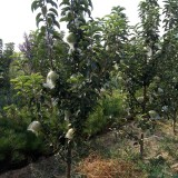 矮化苹果苗价格 山西优质矮化苹果树苗批发