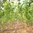 葡萄树苗价格  葡萄树苗基地批发价格