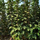 一年生的磨盘柿子树苗售价 山西省甜柿子树苗基地