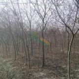 榉树多少钱一棵 榉树价格 榉树基地批发