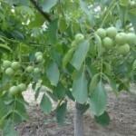 3公分核桃树苗多少钱一颗 3公分核桃树价格