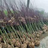 日本红枫树苗价格多少 沭阳日本红枫产地批发