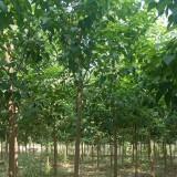 沭阳哪有楸树供应商 楸树苗价格表