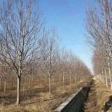 25公分北美枫香价格  北美枫香基地直销  供应北美枫香树苗