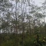 10公分臭椿树价格 臭椿树基地批发