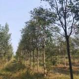 臭椿树多少钱一棵  求购臭椿树  臭椿树供应