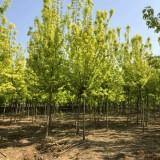 金叶复叶槭小苗价格 3公分5公分金叶复叶槭批发