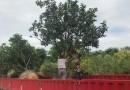 福建柚子树价格 全冠柚子树批发销售