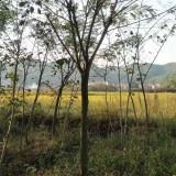 8公分合欢价格   合欢树种植基地  合欢树多少钱一棵