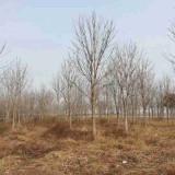 5公分七叶树价格 沭阳七叶树生产基地