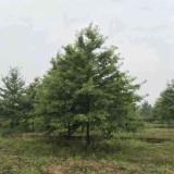 12公分娜塔栎产地价格 娜塔栎培育基地