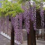 15公分紫藤树价格 沭阳紫藤苗 产地直销