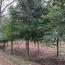 14公分弗吉尼亚栎价格 弗吉尼亚栎直销批发