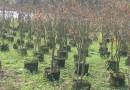 3米高天鹅绒紫薇树基地直供  天鹅绒紫薇树批发价格