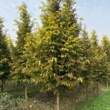 黄金杉树价格哪里卖黄金水杉树苗