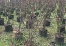 天鹅绒紫薇树价格 天鹅绒紫薇树基地批发供应