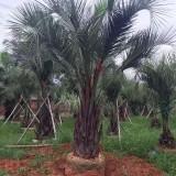 2米高布迪椰子价格  布迪椰子基地批发