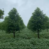 盐城中山杉基地 8公分中山杉树苗多少钱一棵