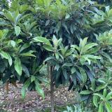 7公分枇杷树批发价格 枇杷树多少钱一棵