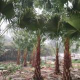 4米高蒲葵树产地直销 5米高蒲葵树市场价多少