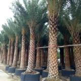 中东海枣小苗价格 2米3米中东海枣树苗批发价格
