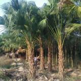 哪里有蒲葵树出售 8米高蒲葵树价格