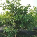 腊肠树多少钱一棵