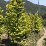 金叶水杉树苗哪里有 金叶水杉价格