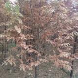 江苏省金叶水杉苗木报价 10公分金叶水杉树价格