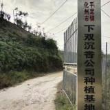 广东沉香树价格 沉香树多少钱一棵