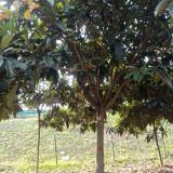 10公分枇杷树价格 枇杷树哪里有卖