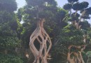 4米高造型榕桩景价格  福建大小型造型榕桩景树