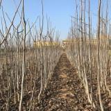 3公分核桃树价格 山西核桃树批发销售