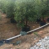 3米高芒果树多少钱一棵 哪里有芒果树苗卖