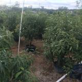 芒果树苗批发市场价格 冠幅1.2米芒果树产地供应