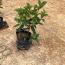 供应30公分野牡丹  绿化苗野牡丹价格