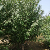 沐阳6公分榆叶梅价格行情 榆叶梅种植基地供应