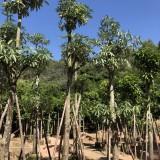 盆架子树价格 工程绿化苗盆架子树报价