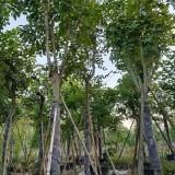 10-18公分腊肠树价格 绿化工程 行道树
