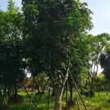 芒果树价格 芒果树基地报价 地苗 移植苗 好成活