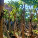 火焰木价格 火焰木基地报价 庭院树 绿化工程苗 高成活