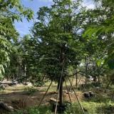 澳洲火焰木价格 全冠澳洲火焰木报价 树形优美 价格优势