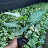 合果芋价格 地被植物合果芋报价 观赏 地被 盆栽