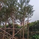米径8-15公分黄花风铃木报价 黄花风铃木价格 苗圃供应 量大更优惠